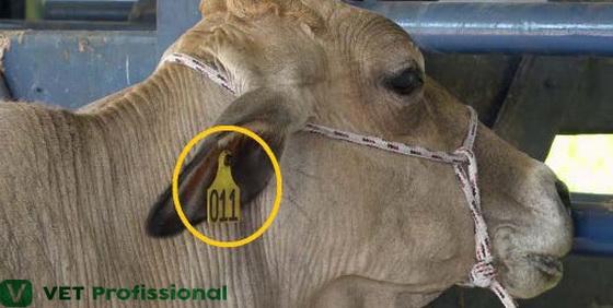 Identificação de um bovino através de brincos de numeração.