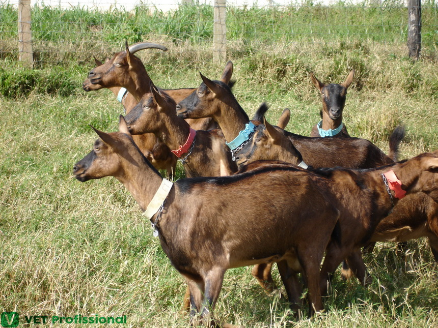Doenças bacterianas em caprinos podem causar mortalidade dos animais?