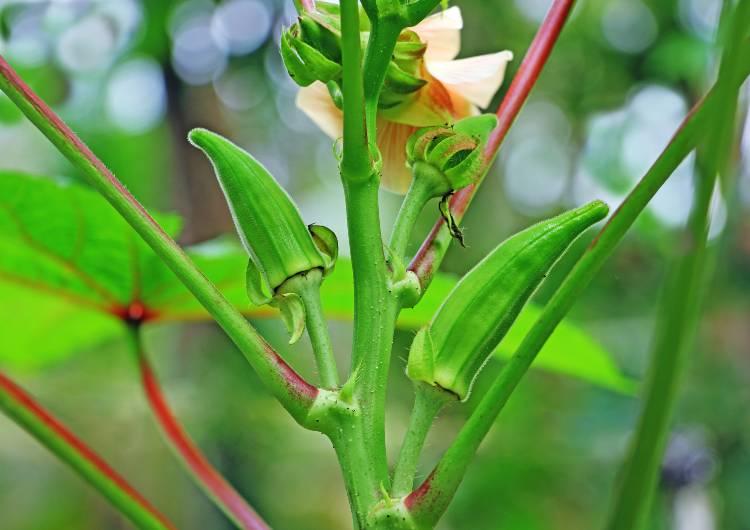 Quais as orientações de especialistas para plantar quiabo?