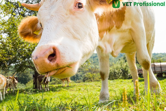 O bovino utiliza a língua para apreender o alimento.
