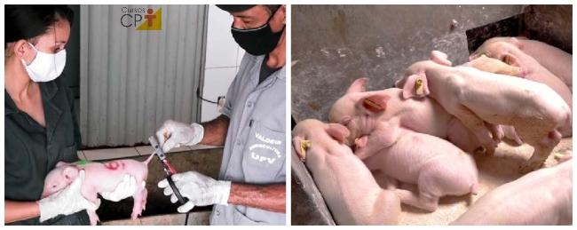 Corte da cauda e Identificação dos animais por meio de brincos     Artigos CPT