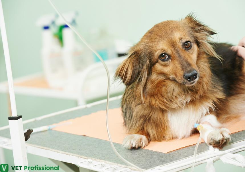 Hidratação do animal durante a cirurgia: qual a importância desse procedimento?