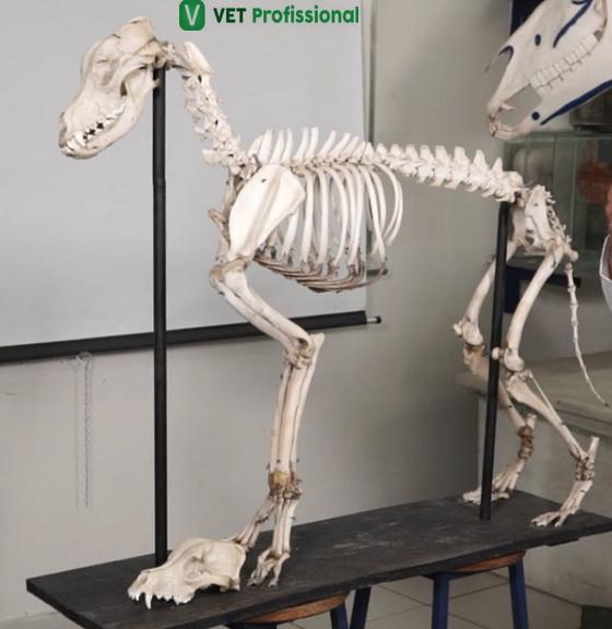 Esqueleto canino.