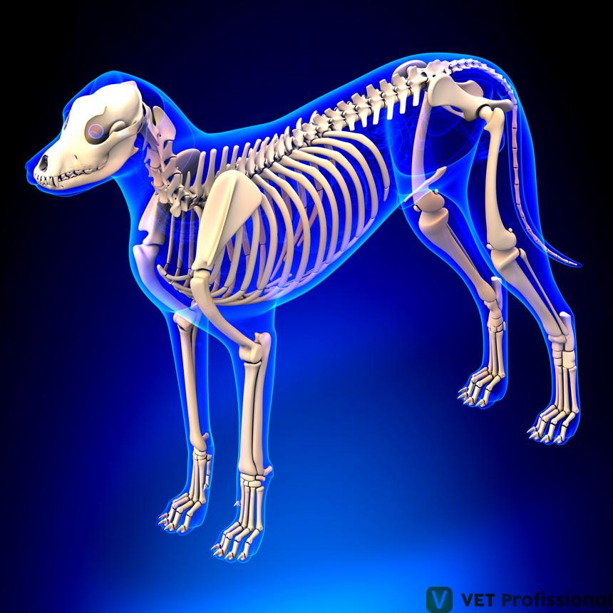 Osteologia canina: como é feita a divisão dos ossos?