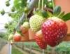 Tratos culturais para o cultivo do morango