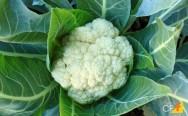 Produção de couve-flor: do plantio à colheita