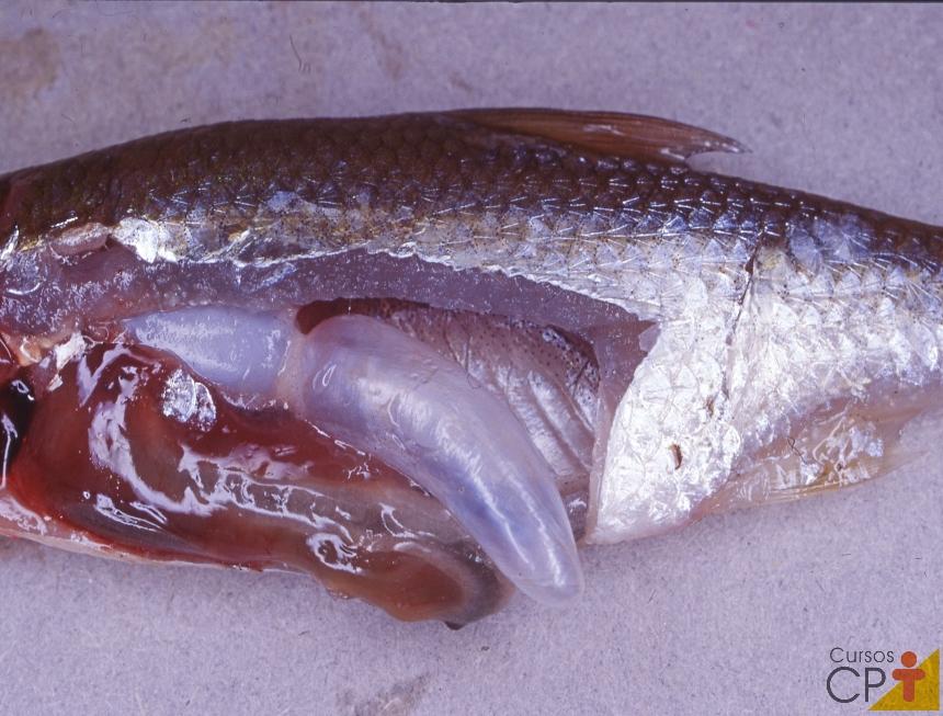 Piscicultor responda: Todos os peixes têm bexiga natatória?   Artigos CPT