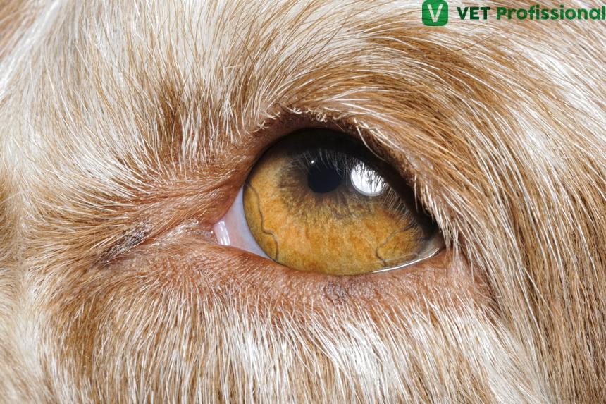 Farmacologia oftálmica animal: barreiras epiteliais da córnea e da conjuntiva