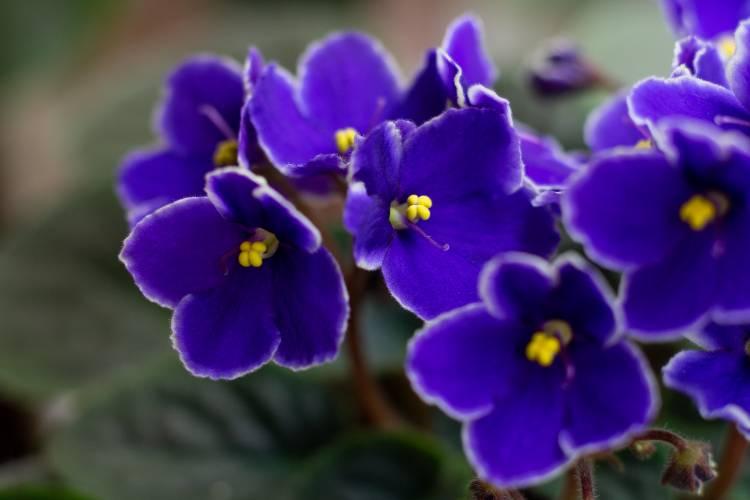 Que tal plantar violeta-africana? Veja as dicas!