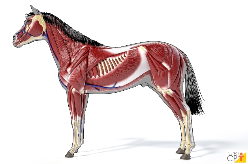 Quais são as características funcionais do tecido muscular?   Artigos CPT