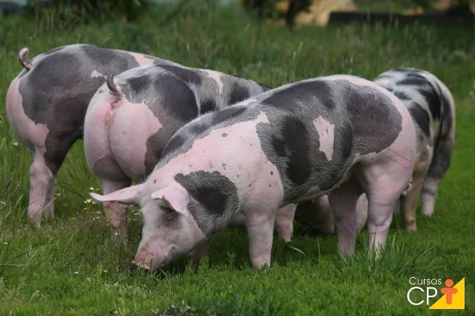 Quais as melhores raças de suínos criadas no Brasil?