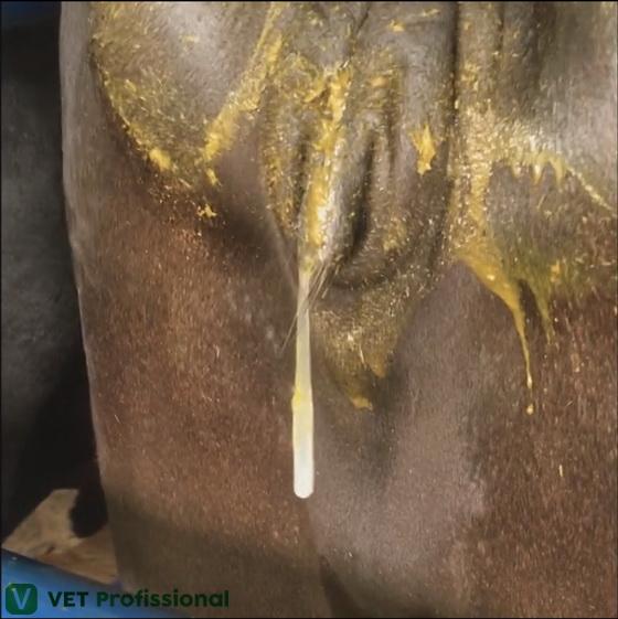 Presença de muco na vaca em etapa de estro.
