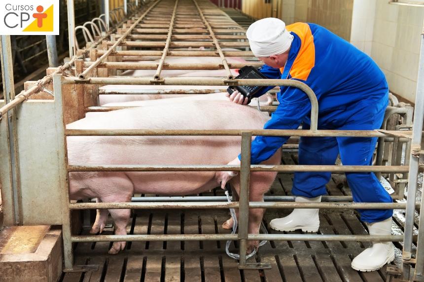 Vai iniciar uma granja de suínos? Saiba tudo sobre inseminação   Artigos CPT
