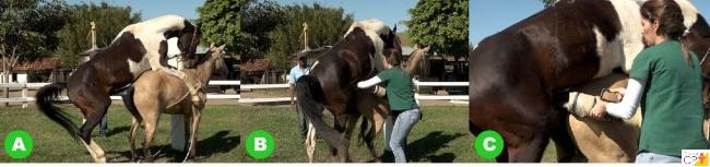 Coleta de sêmen equino   Artigos CPT