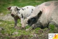Veterinário de suínos? Conheça as características dos porcos nacionais