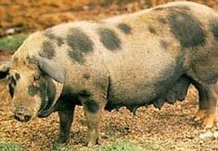 Porco Piau