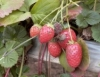 Pragas e doenças do morango orgânico