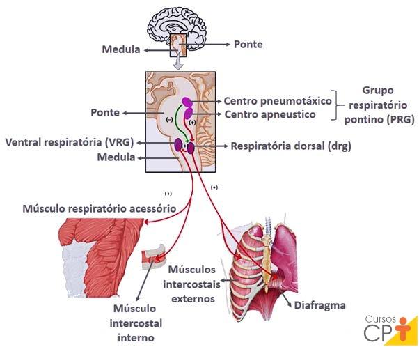 Ilustração do caminho de resposta para efetores nos músculos respiratórios   CPT