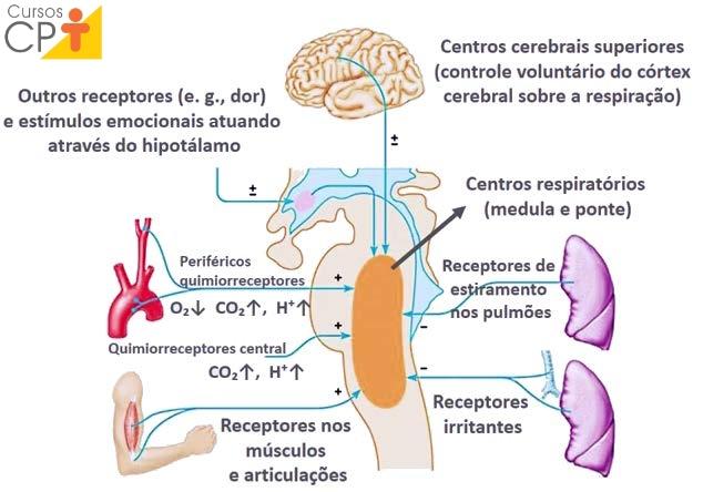 Ilustração dos receptores de estímulos para controle neural da respiração   CPT