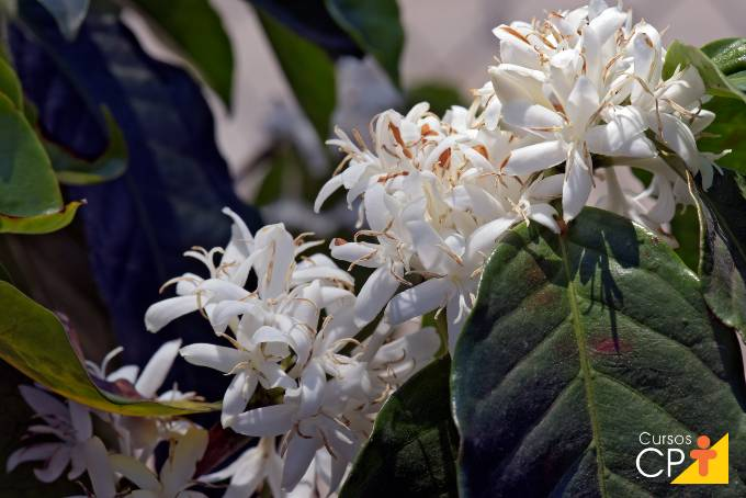 Como é realizada a irrigação inteligente na pré-florada do cafeeiro?