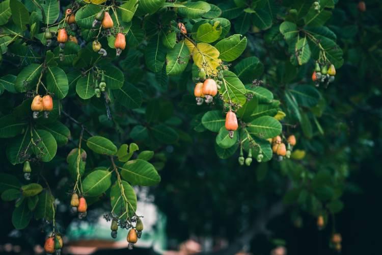 Como cultivar caju para vender polpa e castanha?