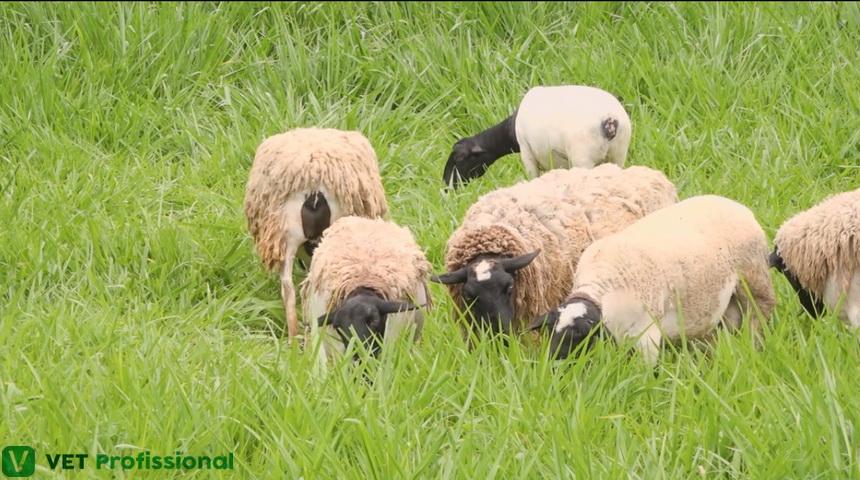 Ovinos: nutrição e alimentação em pasto