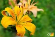 Você sabe como plantar e cultivar hemerocale?