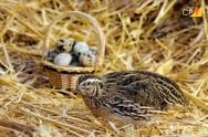 O que fazer para as codornas botarem mais ovos?