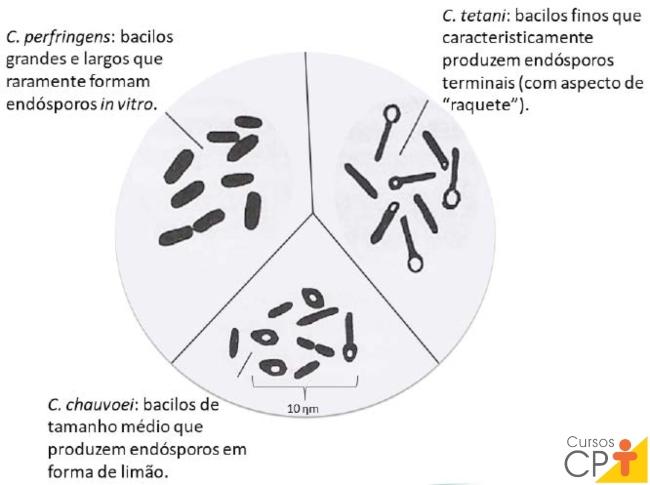 Algumas formas de Clostridium Artigos CPT