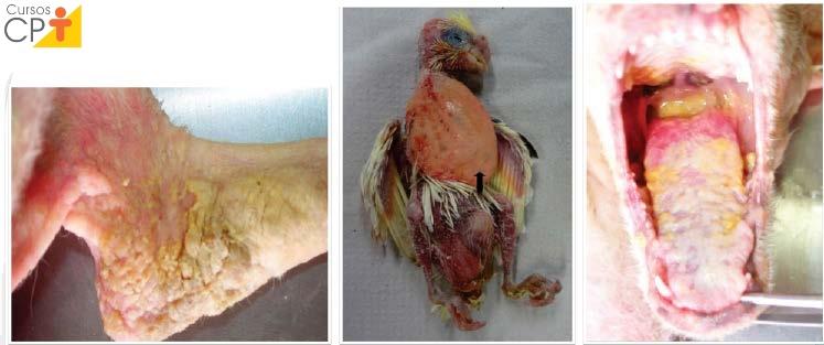 Infecções por Candida em Animais Artigos CPT