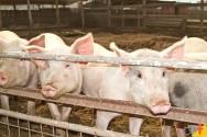 Quais raças nacionais são mais utilizadas na criação de suínos?