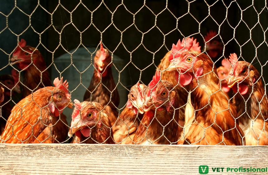 Aves híbridas: qual sua importância na avicultura atual?