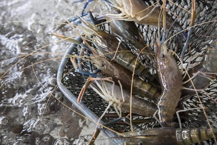 O que considerar na criação de camarão-da-Malásia?