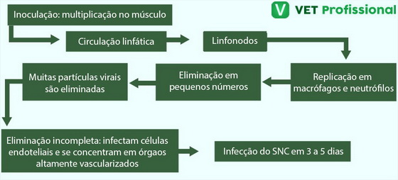 Patogenia da encefalomielite.