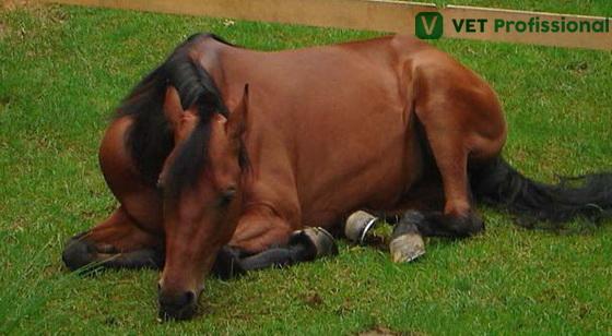 Animal com EEV posicionado em decúbito e com quadro de depressão.