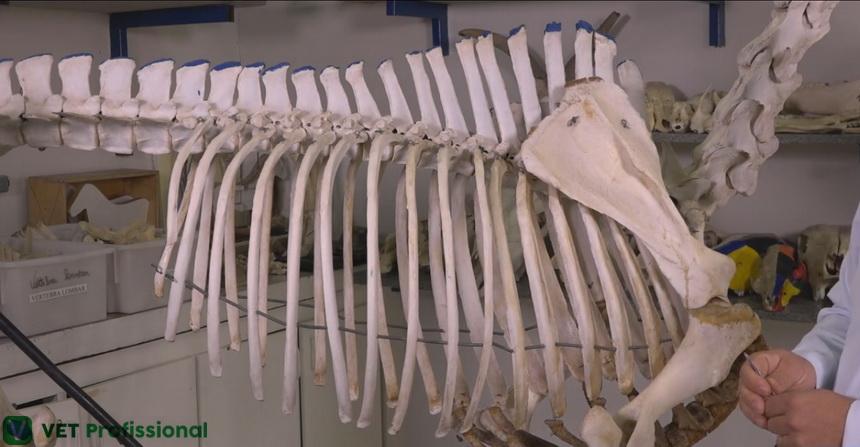 Características das vértebras torácicas de animais domésticos