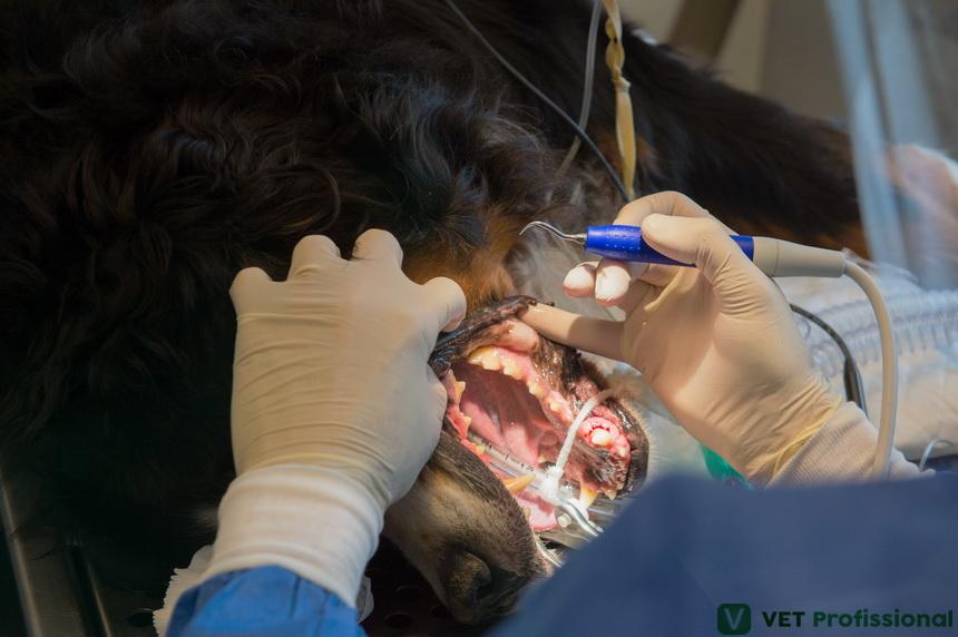 Exérese de cálculo dentário em cães: como realizar esse procedimento?