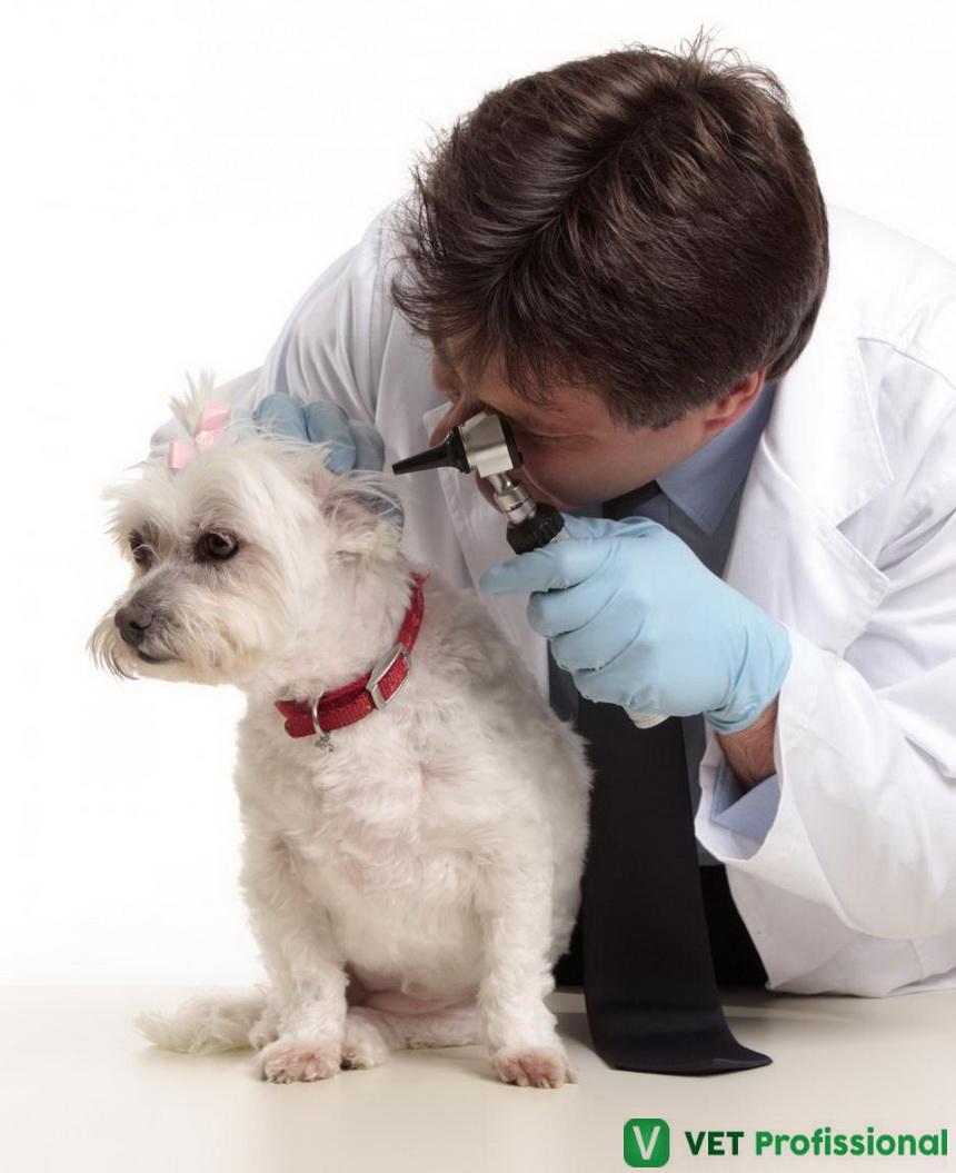 Otite externa fúngica-bacteriana em cães: como diagnosticar?
