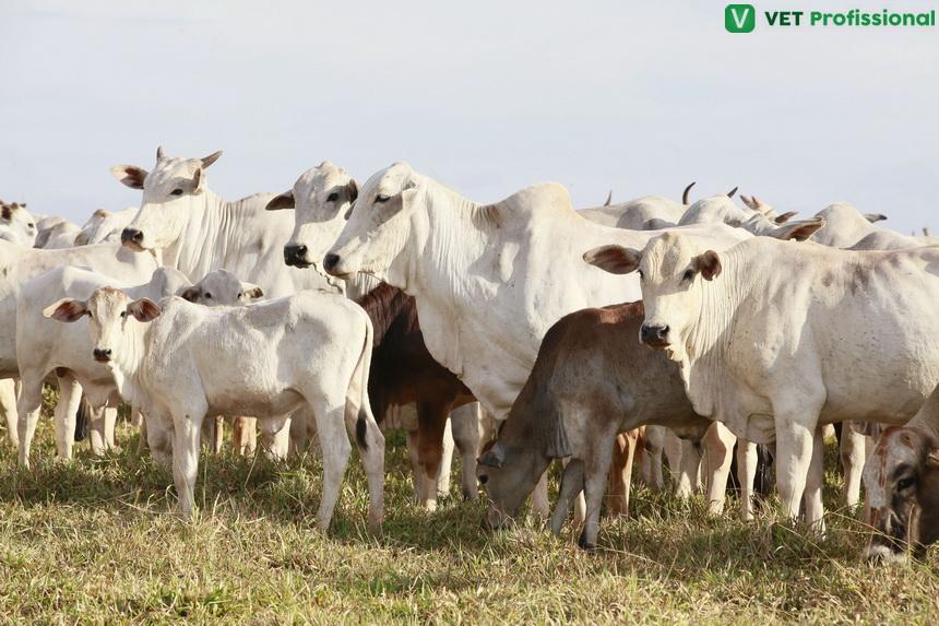 Como ocorre a fertilização em bovinos?