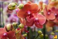 Quais as principais doenças bacterianas em orquídeas?