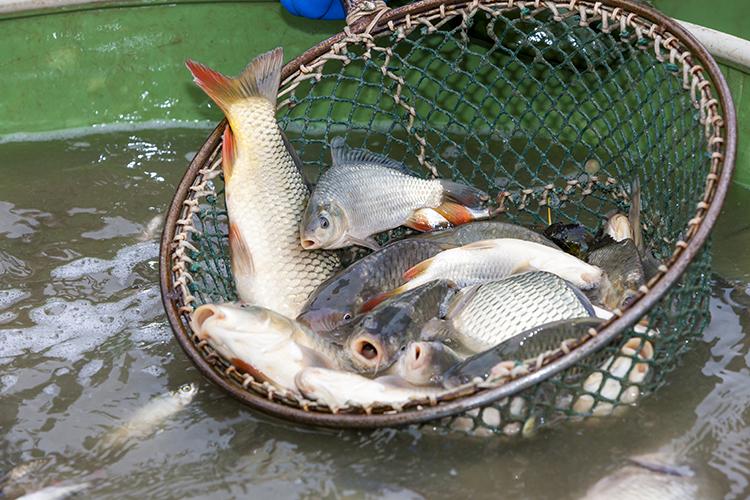 Despesca de peixes - imagem ilustrativa