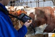 Sexagem fetal em vacas. Por que e quando fazer?