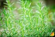 Orientações de especialistas para plantar alecrim