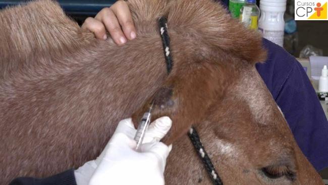Coleta de sangue na ponta da orelha de equinos   Artigos CPT