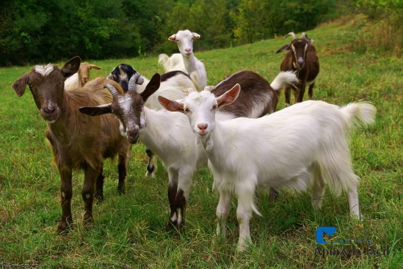 Vai criar cabras? Confira dicas importantes!
