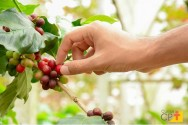 Quer plantar café? Confira dicas imperdíveis!