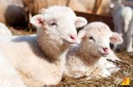 Quais os principais cuidados com os cordeiros?