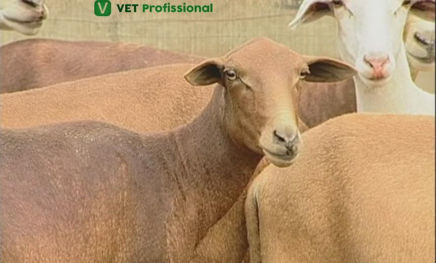 Raças de ovinos de clima tropical: Conheça a raça Morada Nova