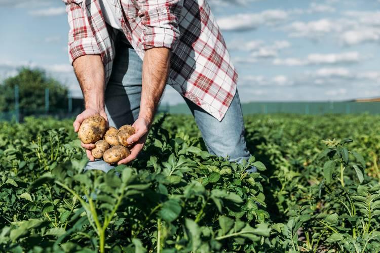 Vamos aprender como plantar batata?