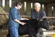 A brucelose bovina é perigosa? Sim! Conheça a doença e aprenda a evitá-la